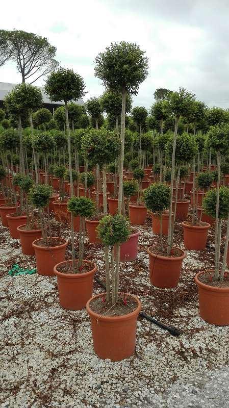 Ligustrum delavayanum pompon 100-125 cm CO 24L