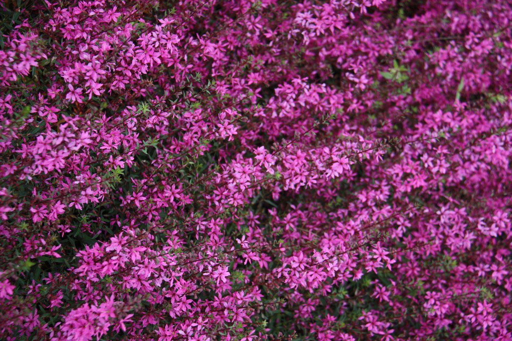 Lythrum virgatum 'Rose Queen' P9 cm