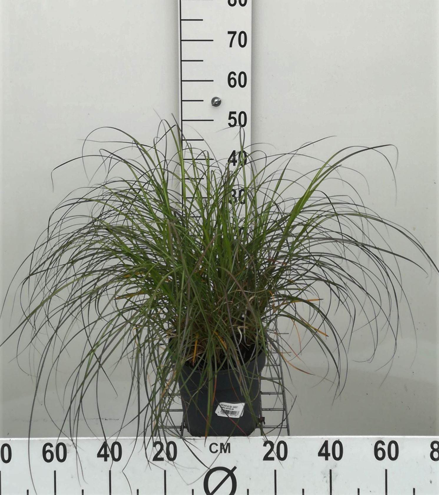 Miscanthus sinensis 'Adagio' CO 3L