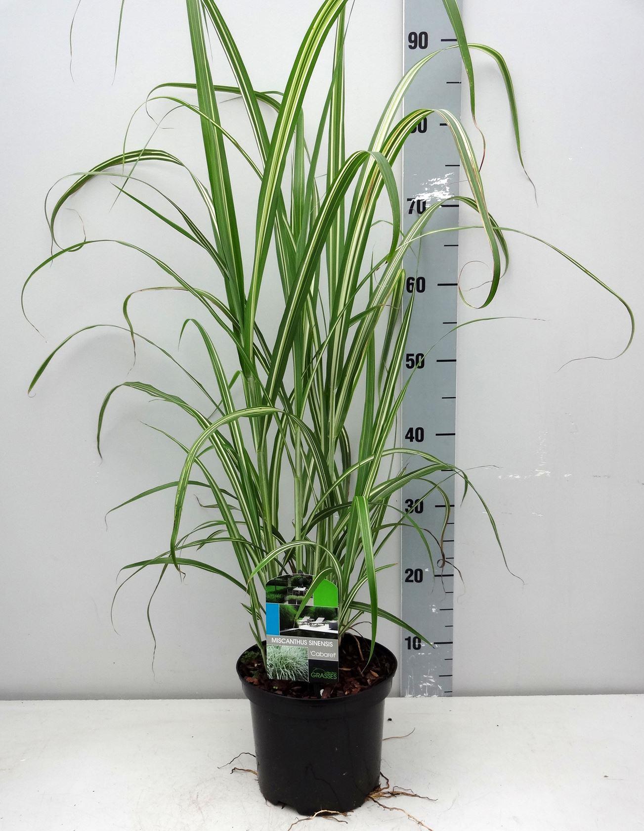 Miscanthus sinensis 'Cabaret' CO 3L