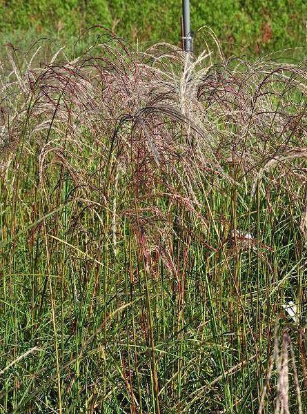 Miscanthus sinensis 'Flamingo' P9 cm
