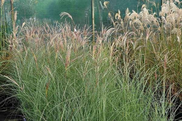 Miscanthus sinensis 'Gracillimus' P11 cm