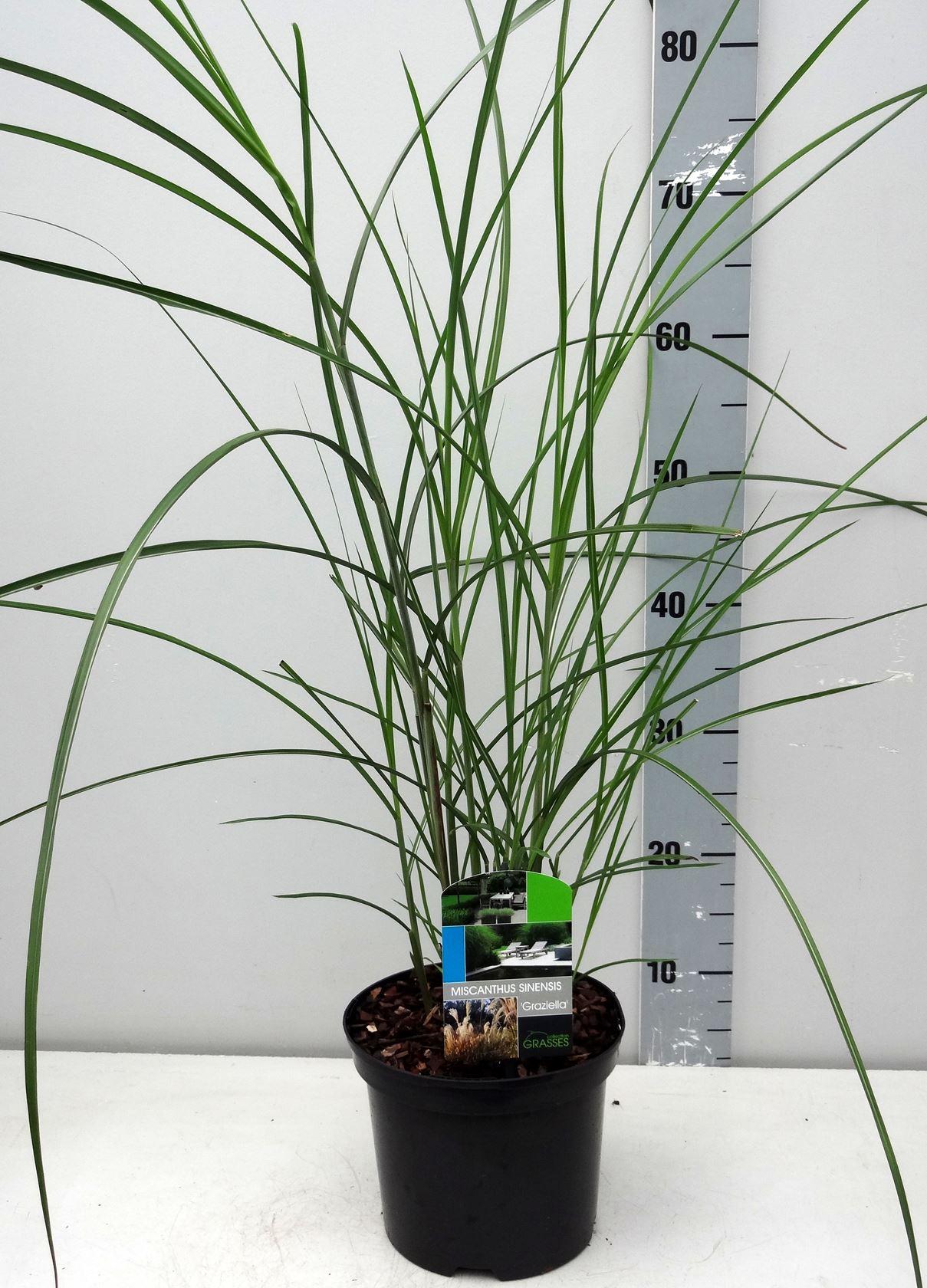 Miscanthus sinensis 'Graziella' CO 3L
