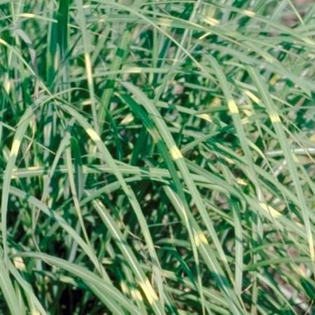 Miscanthus sinensis 'Pünktchen' P9 cm