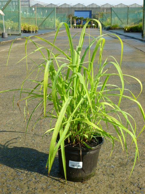 Miscanthus 'Purpurascens' CO 3L