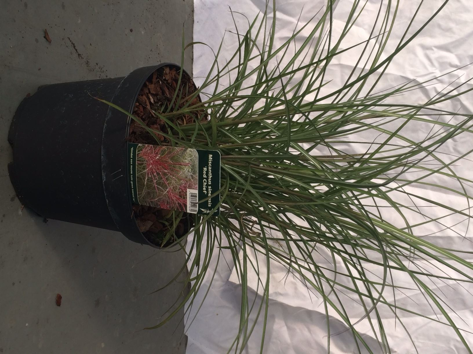 Miscanthus sinensis 'Red Chief' CO 3L