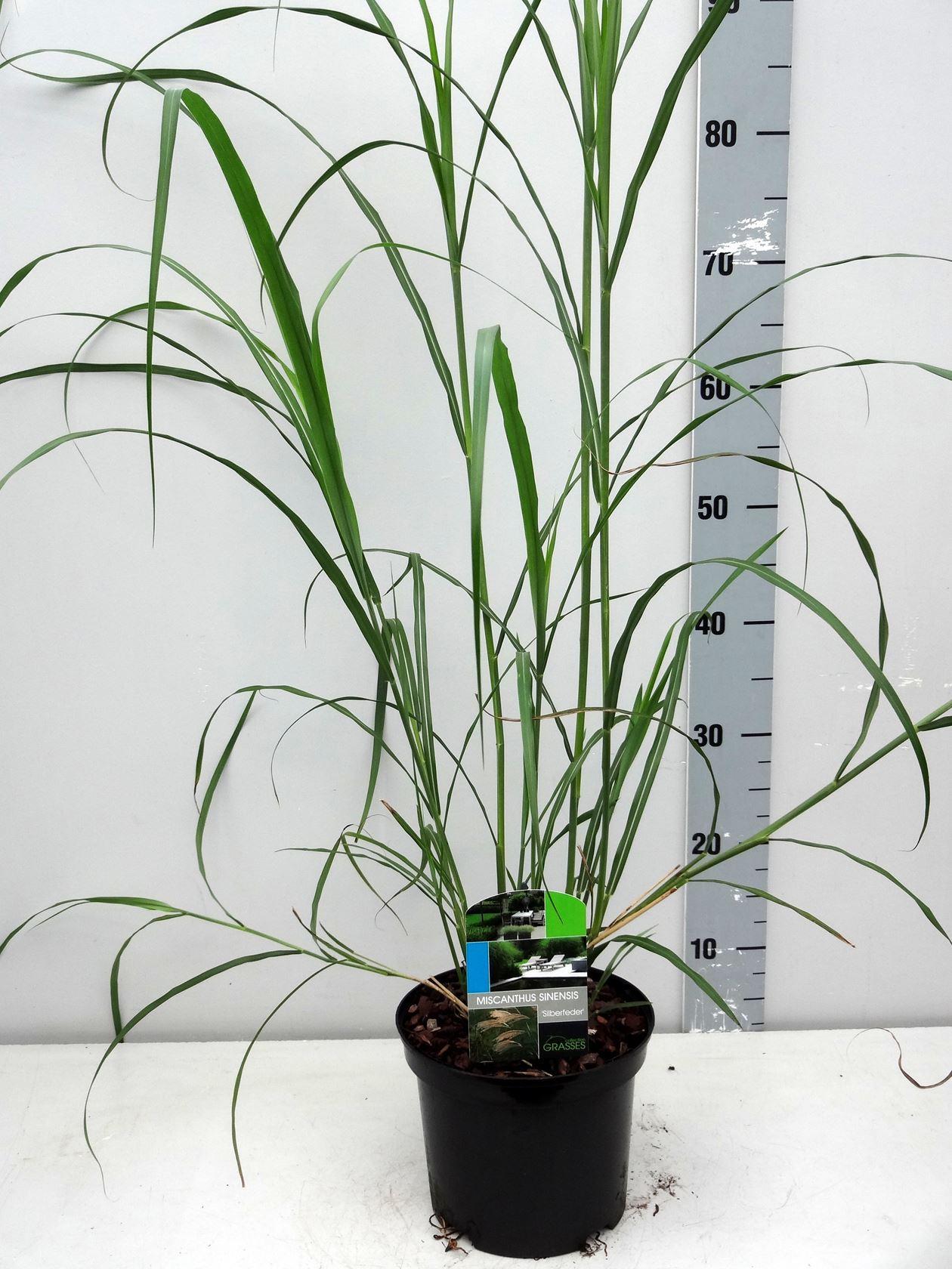 Miscanthus sinensis 'Silberfeder' CO 3L