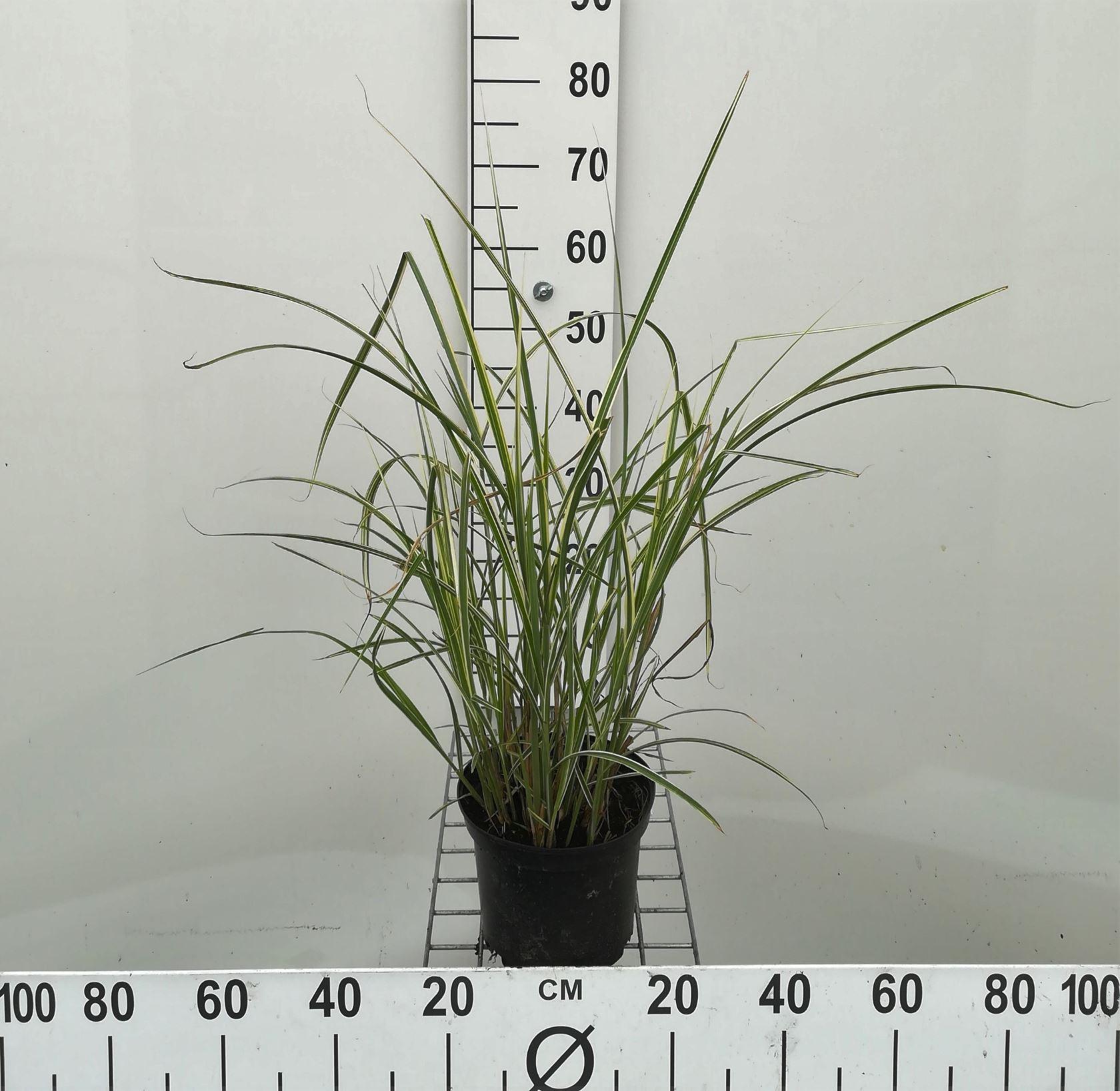 Miscanthus sinensis 'Variegatus' CO 3L