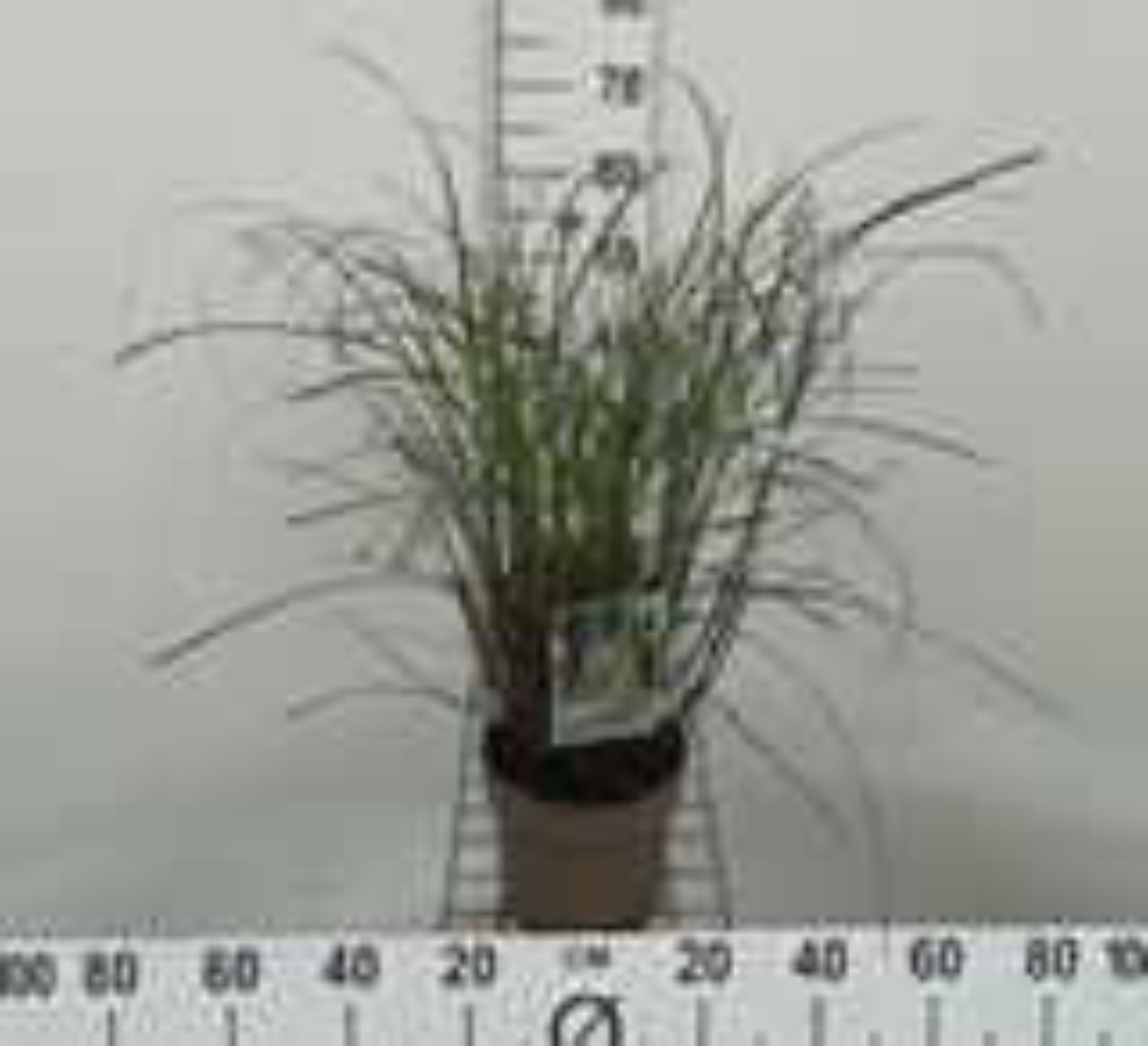 Miscanthus sinensis 'Yaku Jima' CO 3L