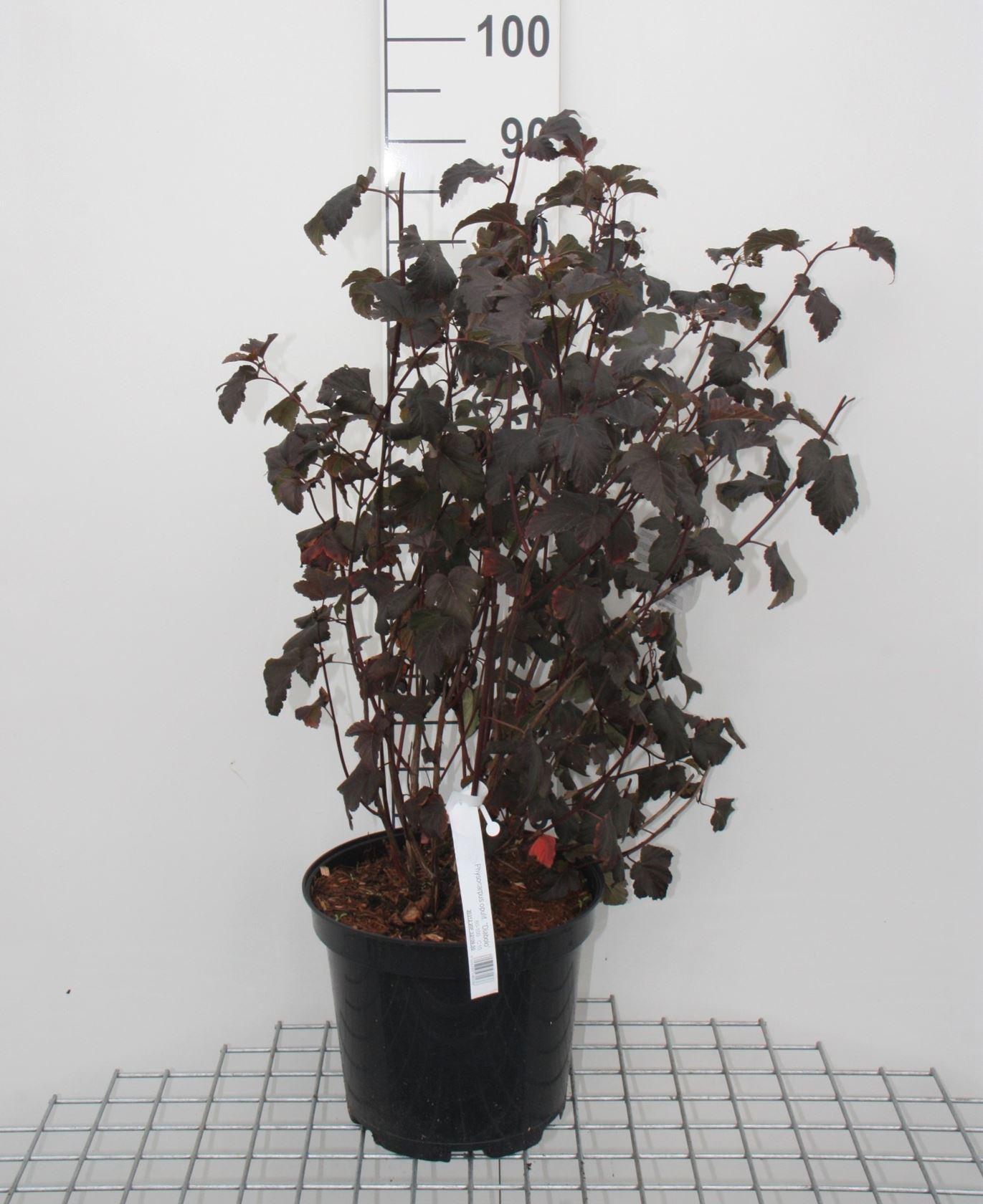 Physocarpus opulifolius 'Diabolo' 80-100 cm CO 10L