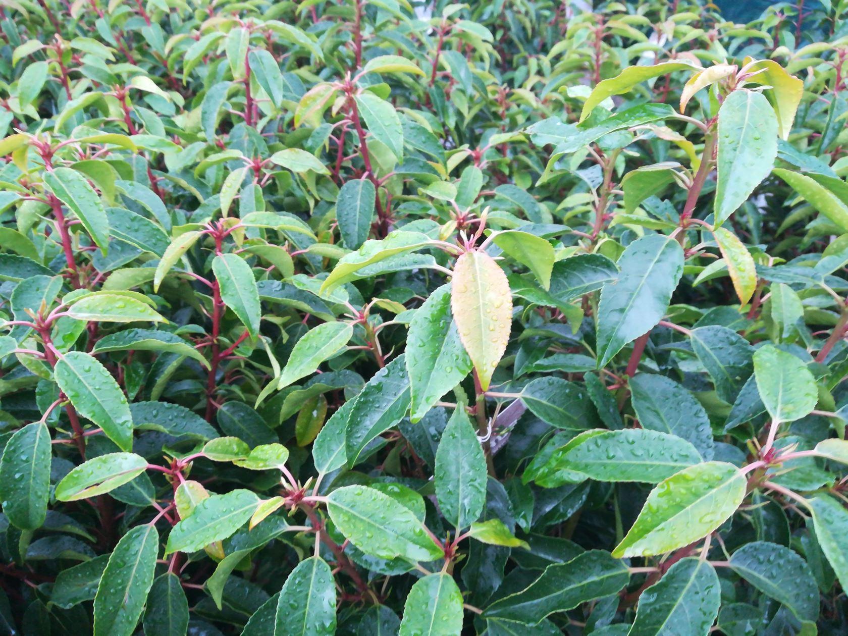 Prunus lusitanica 'Angustifolia' 100-125 cm Kluit