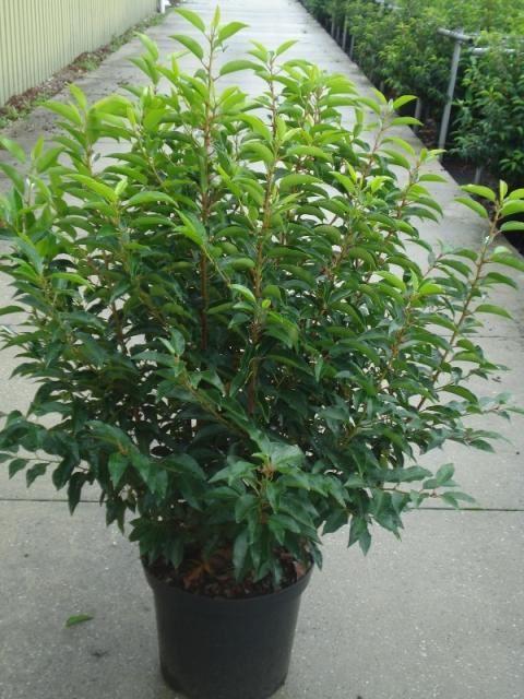 Prunus lusitanica 'Angustifolia' 100-125 cm CO 12L