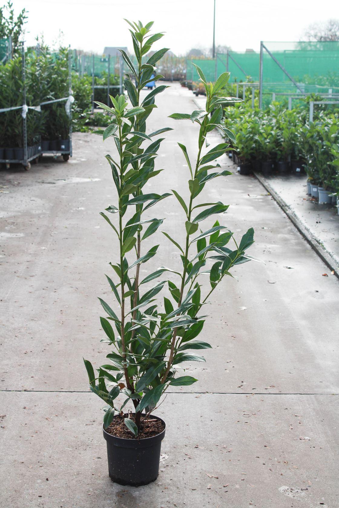 Prunus laurocerasus 'Caucasica' 100-125 cm CO 10L