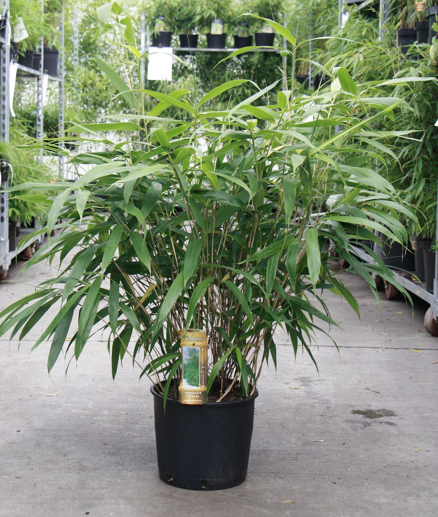 Pseudosasa japonica 80-100 cm CO 10L