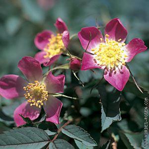 Rosa glauca 40-60 cm CO