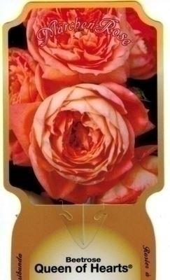 Rosa 'Queen of Hearts' Blote wortel