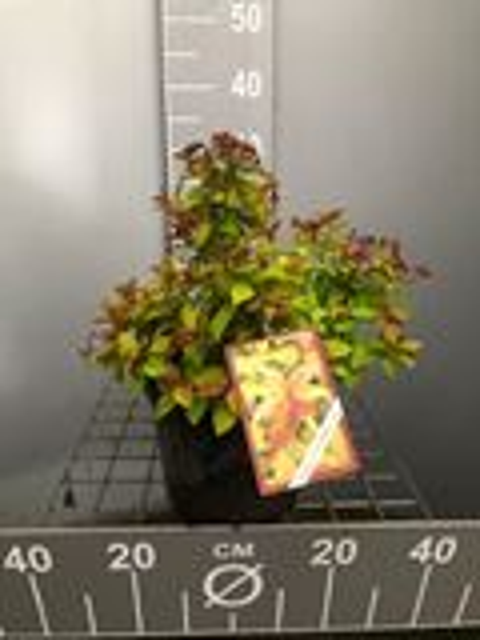 Spiraea japonica 'Walbuma' (Magic Carpet) 25-30 cm CO