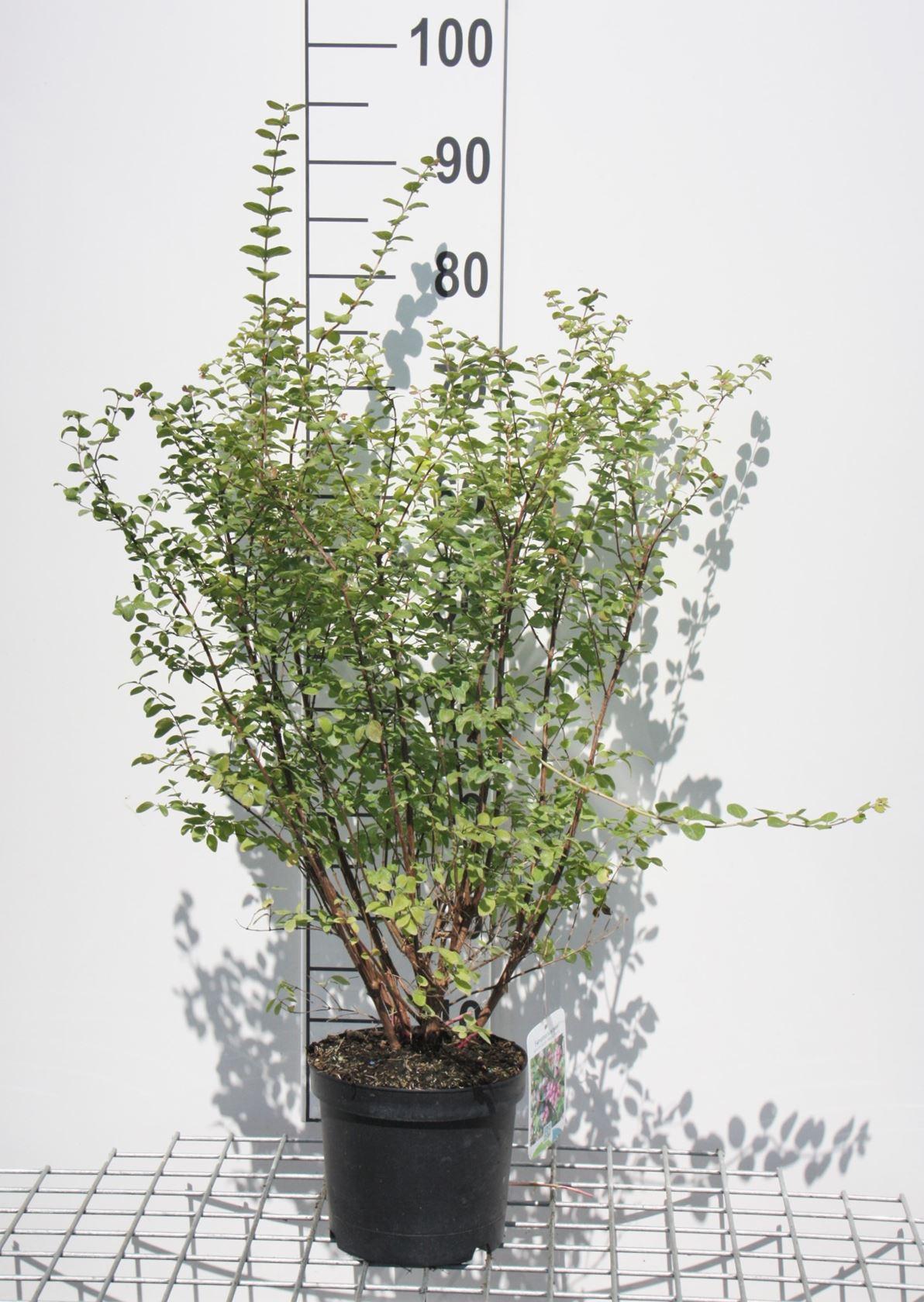 Symphoricarpos x doorenbosii 'Magic Berry' 50-60 cm CO