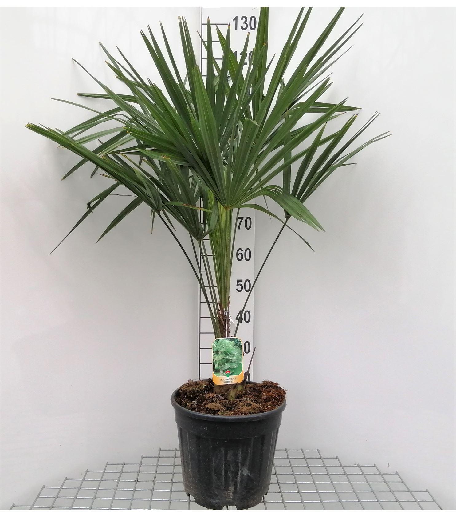 Trachycarpus fortunei 100-125 cm CO 30L