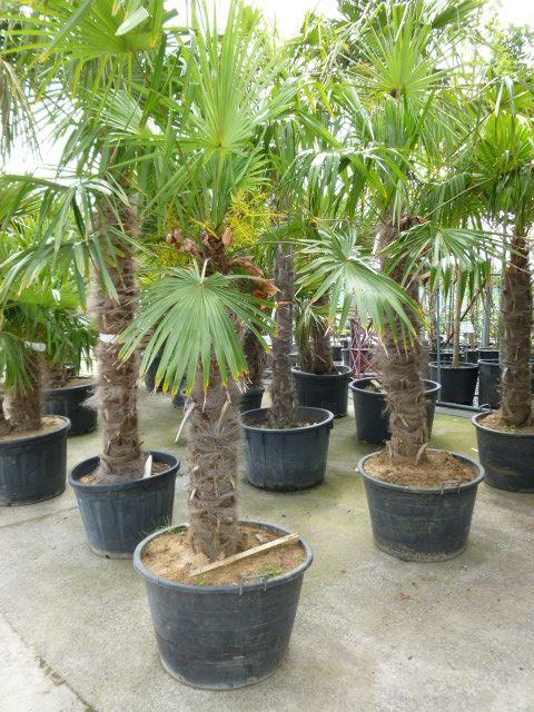Trachycarpus fortunei geënt op stamhoogte 100-120 cm CO 90L