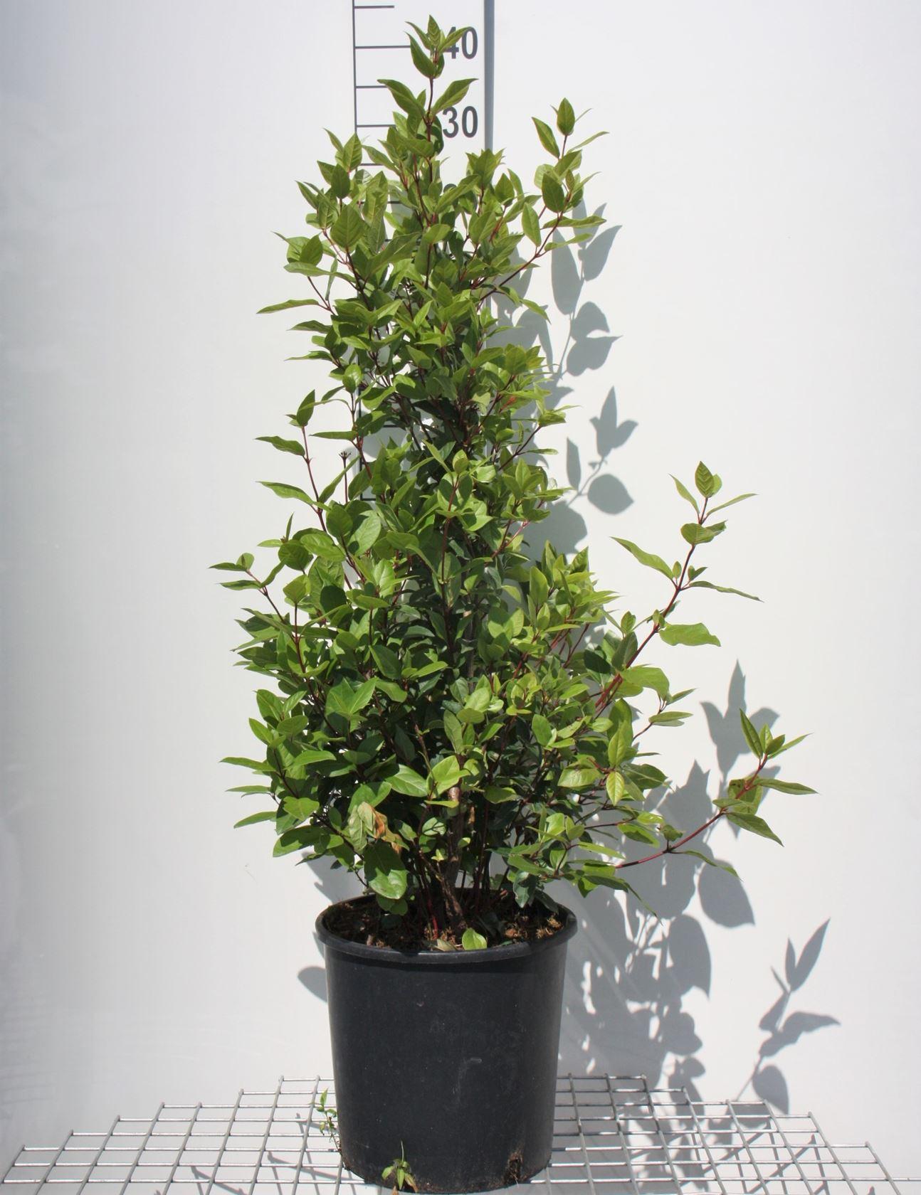 Viburnum tinus 'Eve Price' 80-100 cm CO 18L
