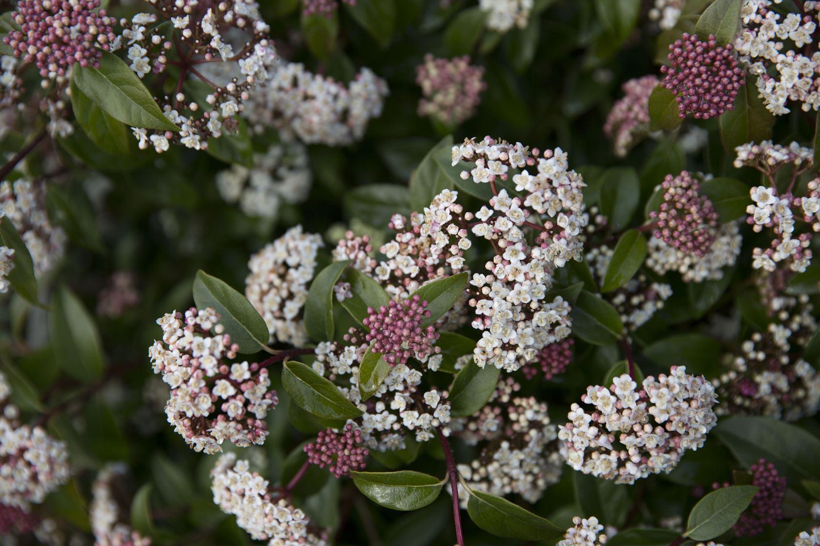 Viburnum tinus 'Eve Price' 100-125 cm CO 25L