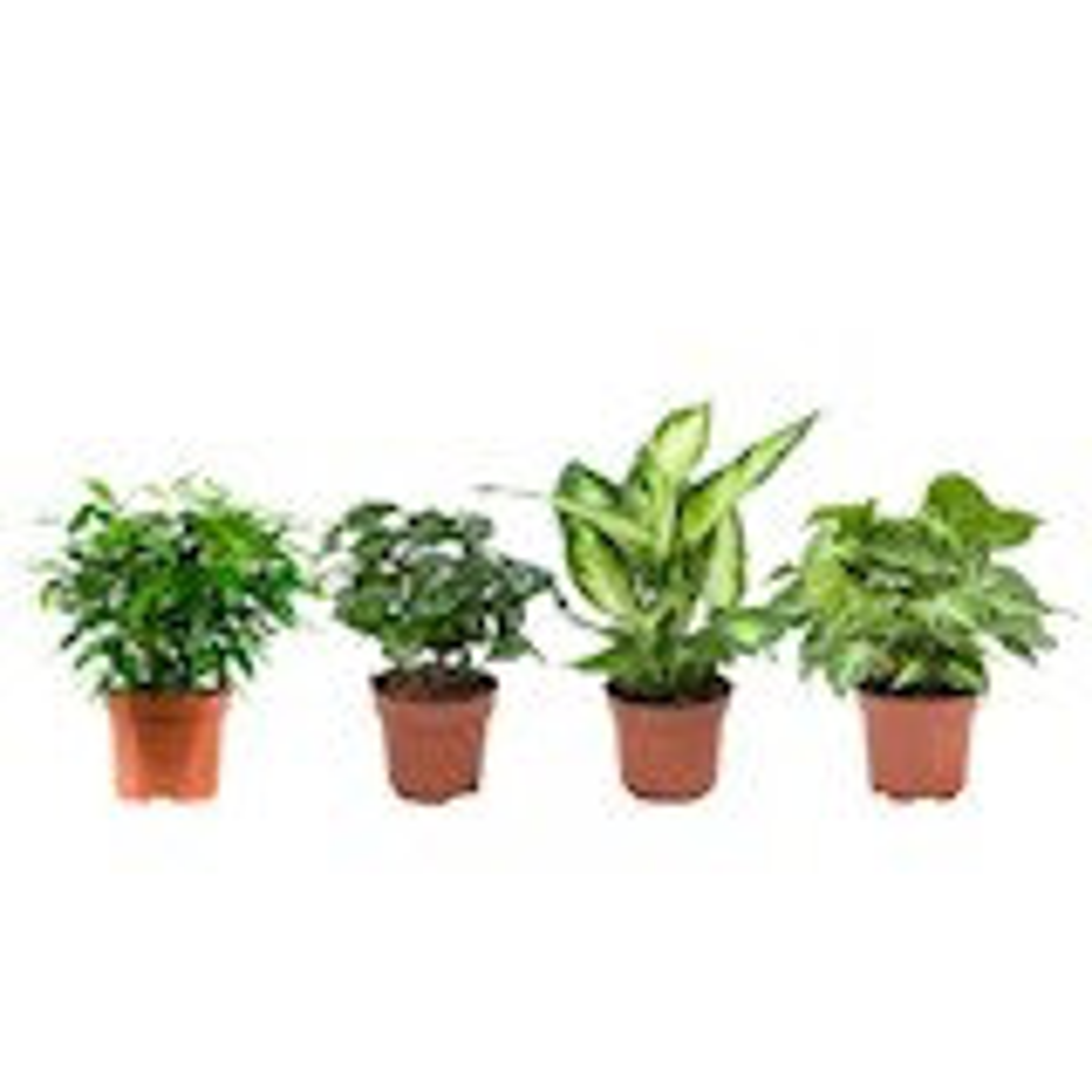 4 stuks Dieffenbachia Camilla, Coffea Arabica (Koffieplant), Syngonium Podophyllum, Ficus benjamina - pot 12cm - hoogte 25cm