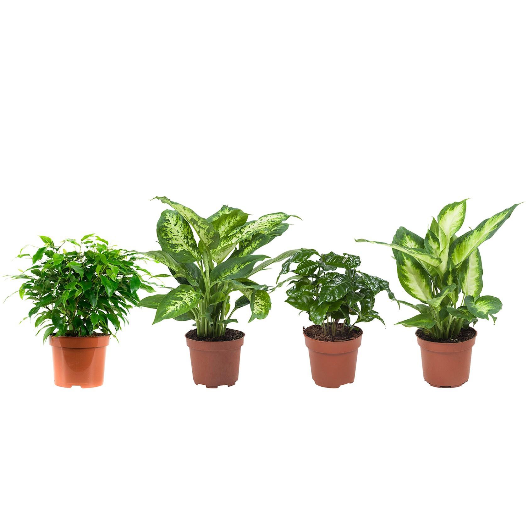 4 stuks Ficus (Ficus Green Kinky), Koffieplant (Coffea Arabica), Dieffenbachia (Dieffenbachia Compacta), Dieffenbachia (Dieffenbachia Camilla) - pot 12cm - hoogte 25cm