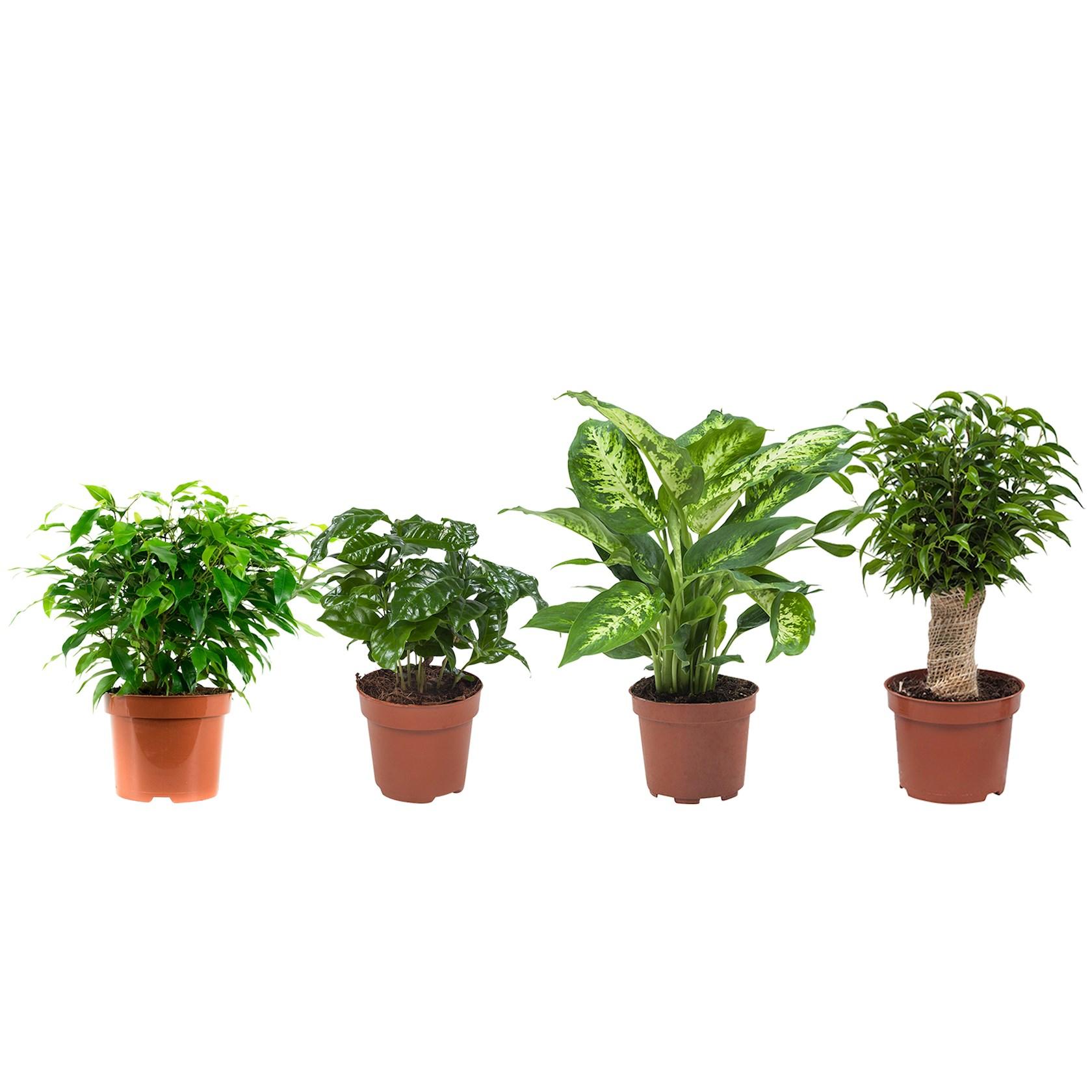 4 stuks Ficus (Ficus Green Kinky), Koffieplant (Coffea Arabica), Dieffenbachia (Dieffenbachia Compacta), Ficus (Ficus Natasja) - pot 12cm - hoogte 25cm