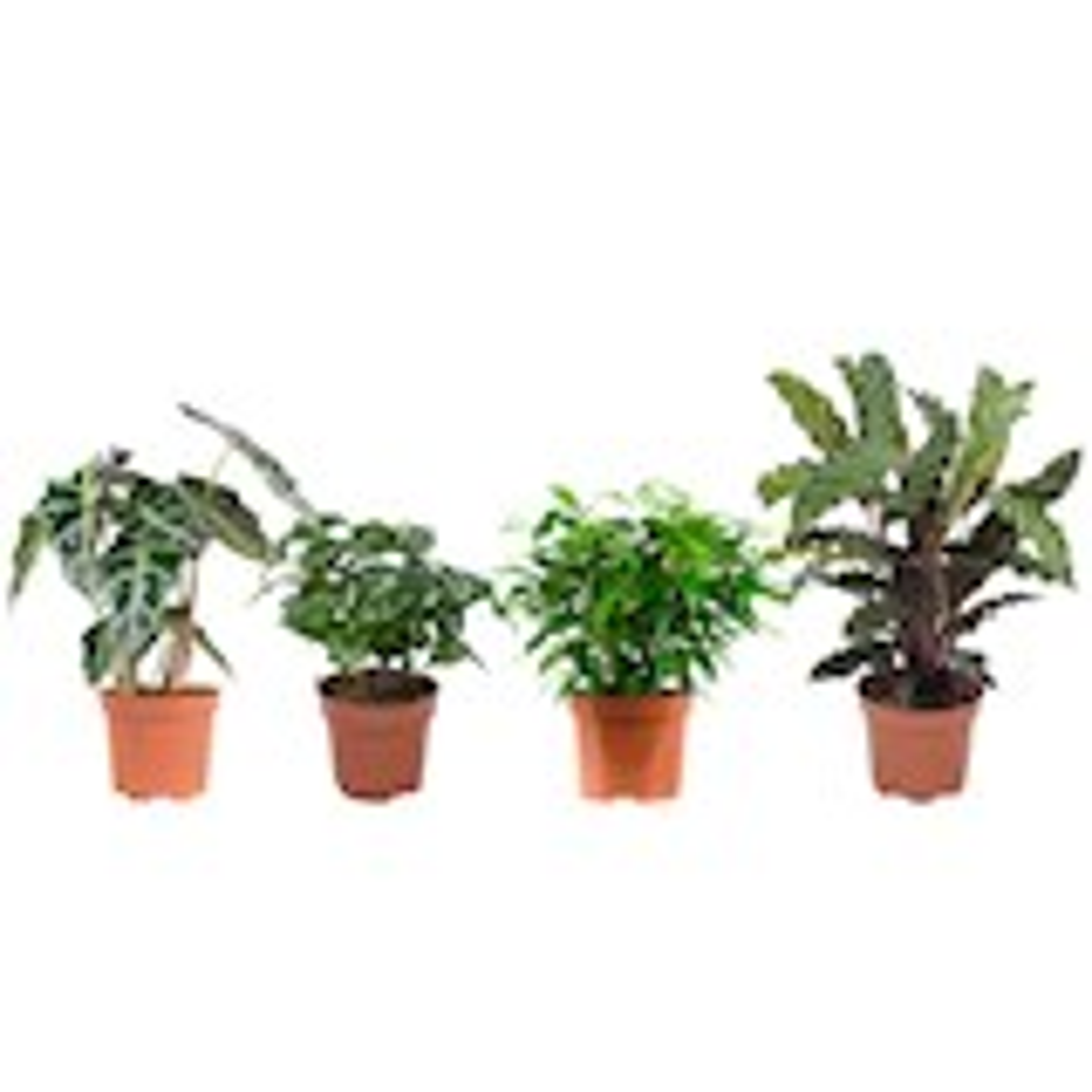 4 stuks Ficus (Ficus Green Kinky), Koffieplant (Coffea Arabica), Olifantsoor of Skeletplant (Alocasia Polly), Calathea (Calathea Rufibarba) - pot 12cm - hoogte 25cm