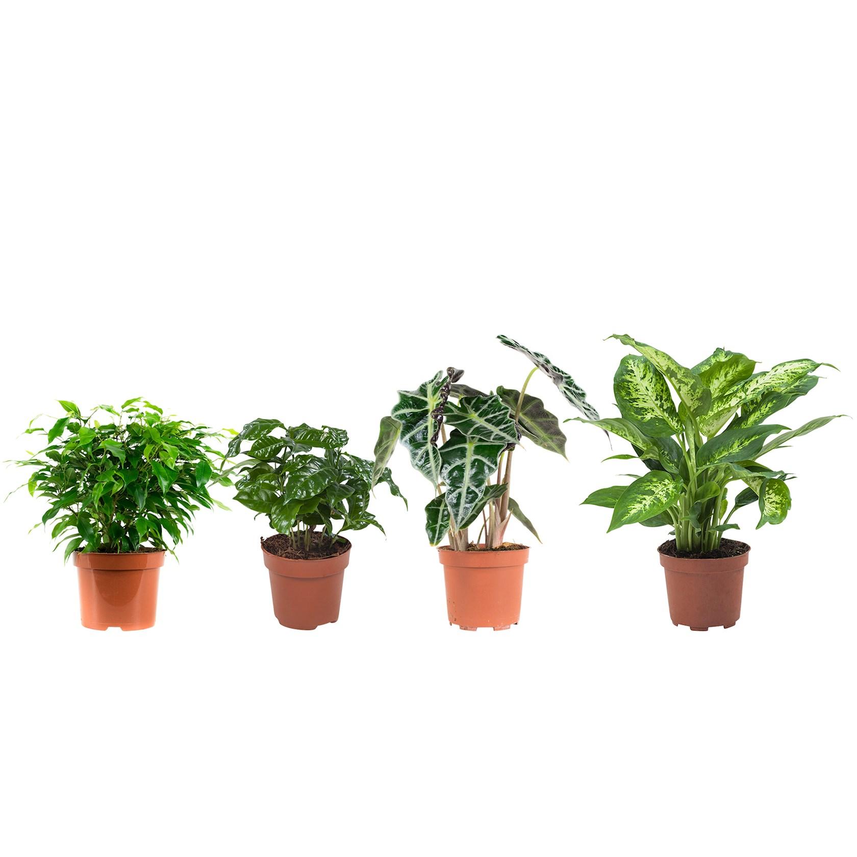 4 stuks Ficus (Ficus Green Kinky), Koffieplant (Coffea Arabica), Olifantsoor of Skeletplant (Alocasia Polly), Dieffenbachia (Dieffenbachia Compacta) - pot 12cm - hoogte 25cm