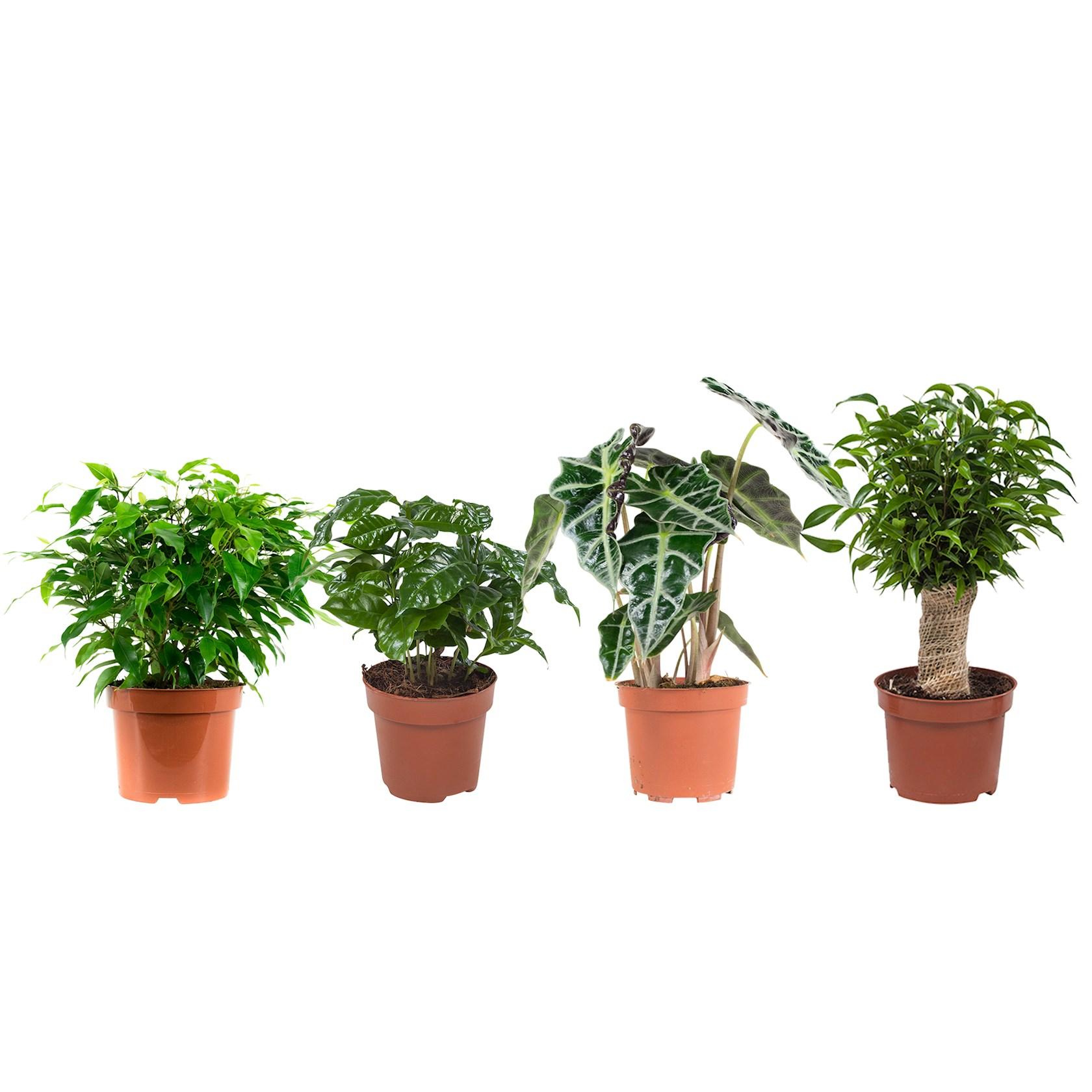 4 stuks Ficus (Ficus Green Kinky), Koffieplant (Coffea Arabica), Olifantsoor of Skeletplant (Alocasia Polly), Ficus (Ficus Natasja) - pot 12cm - hoogte 25cm