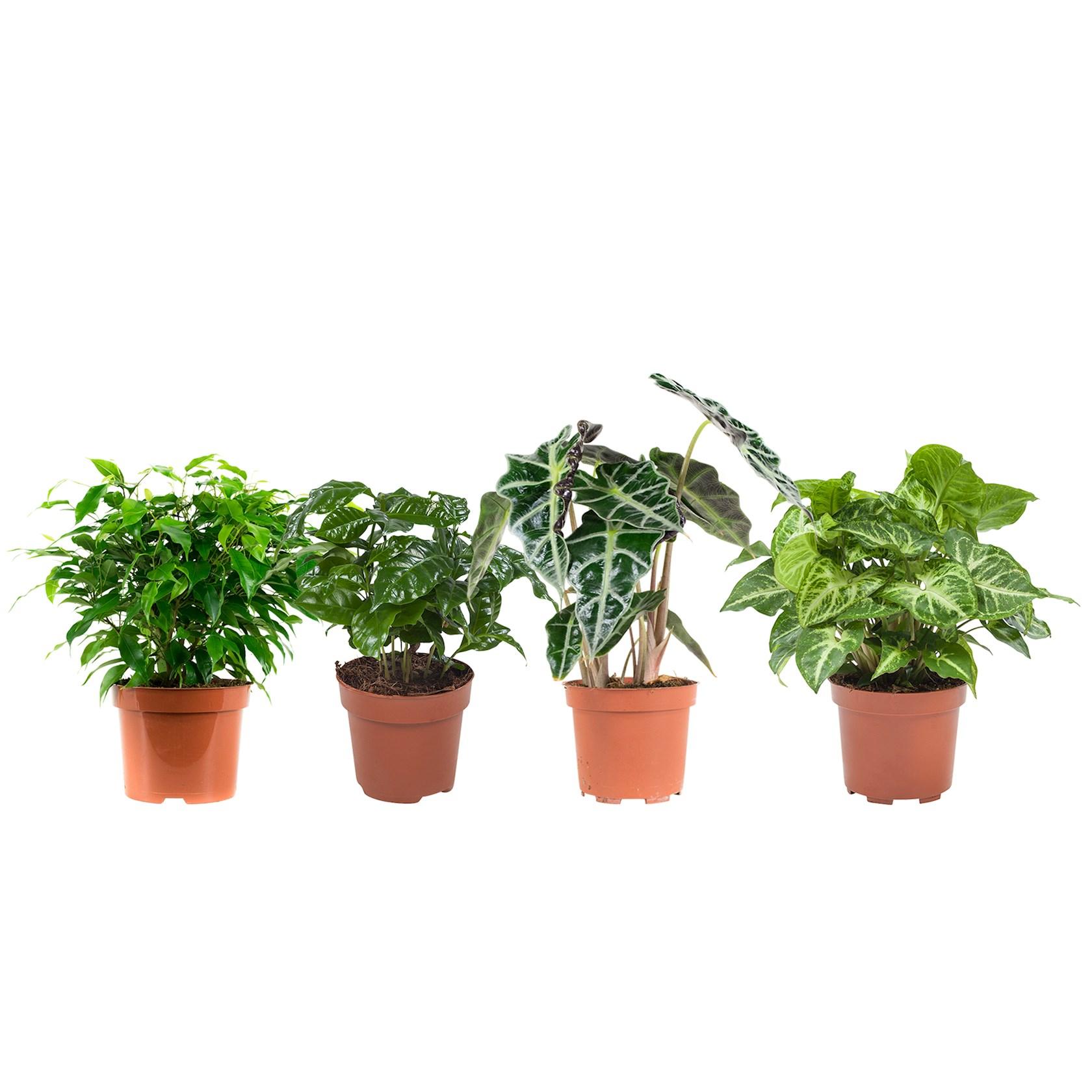 4 stuks Ficus (Ficus Green Kinky), Koffieplant (Coffea Arabica), Olifantsoor of Skeletplant (Alocasia Polly), Syngonium Arrow - pot 12cm - hoogte 25cm