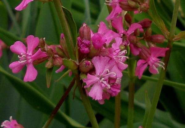 Lychnis viscaria 'Splendens' P9 cm
