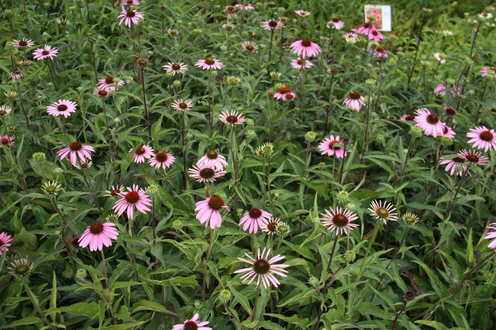 Echinacea purpurea 'Baby Swan Pink' P9 cm