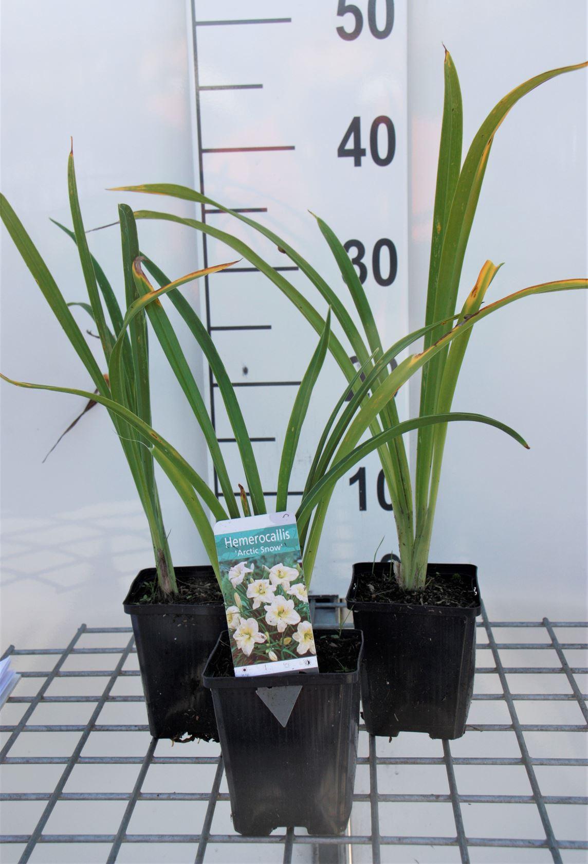 Hemerocallis 'Arctic Snow' P9 cm