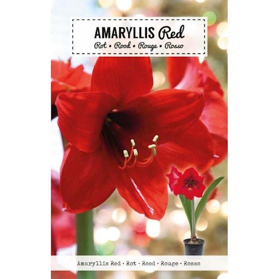 Amaryllis Doosje rood