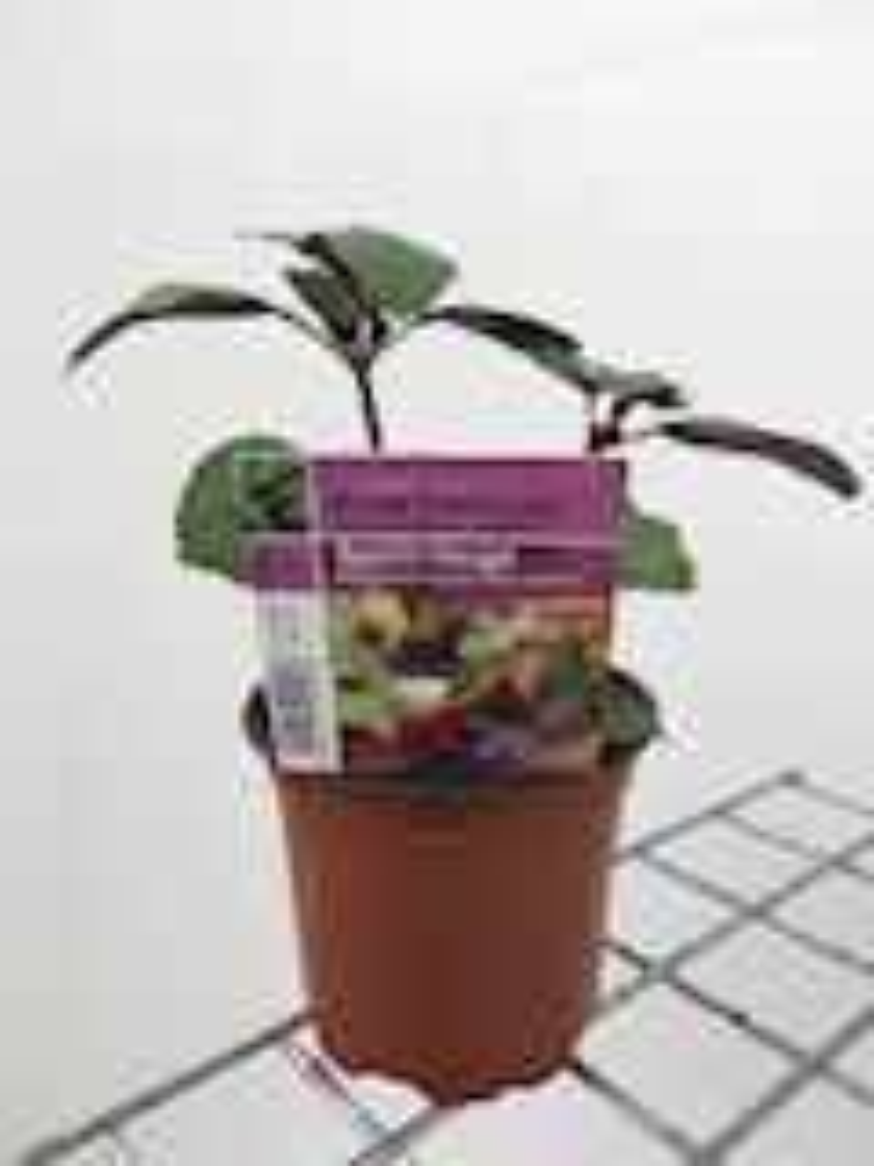 Basilicum-rood-gestekt-pot-10-5cm