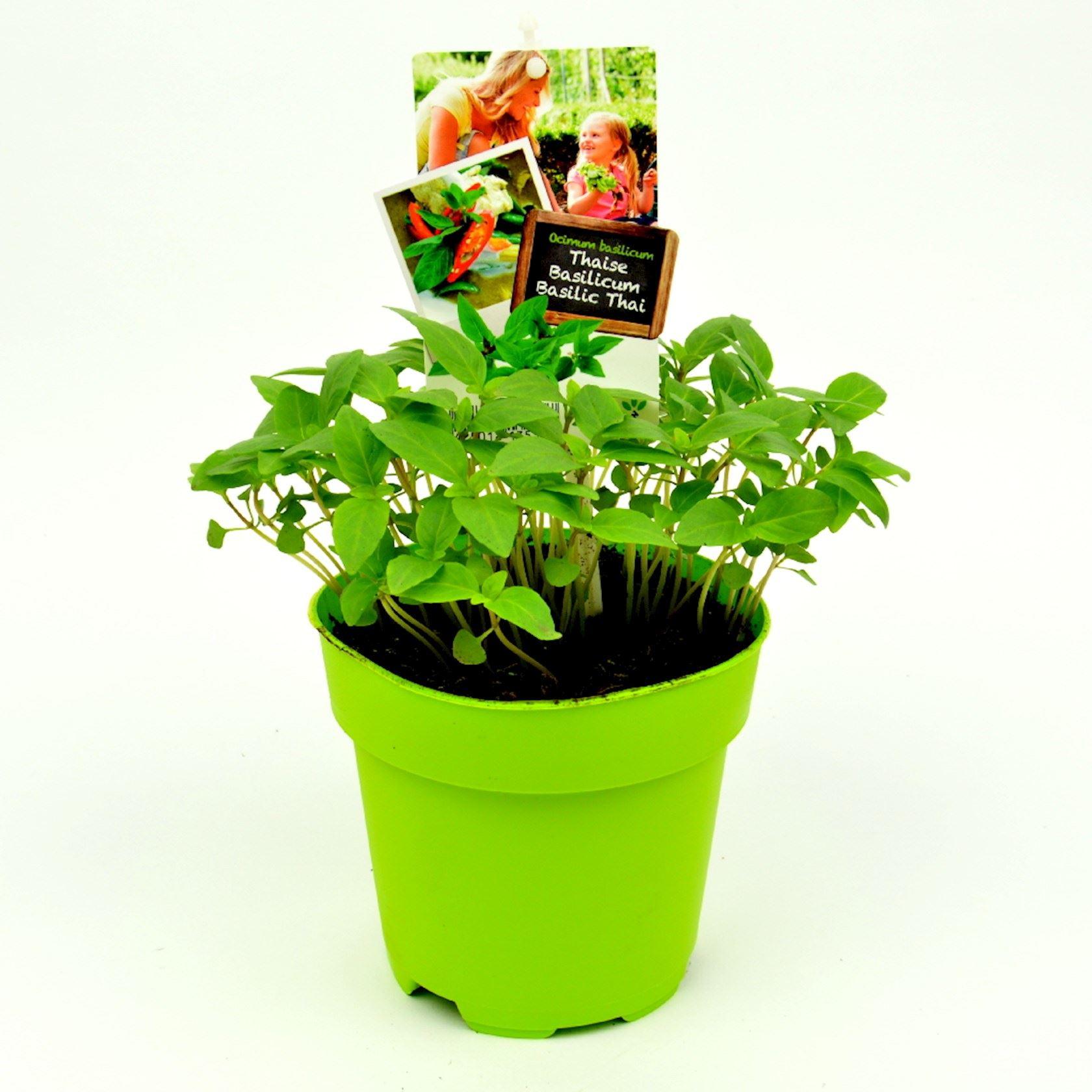 Basilicum-Thaise-pot-13cm