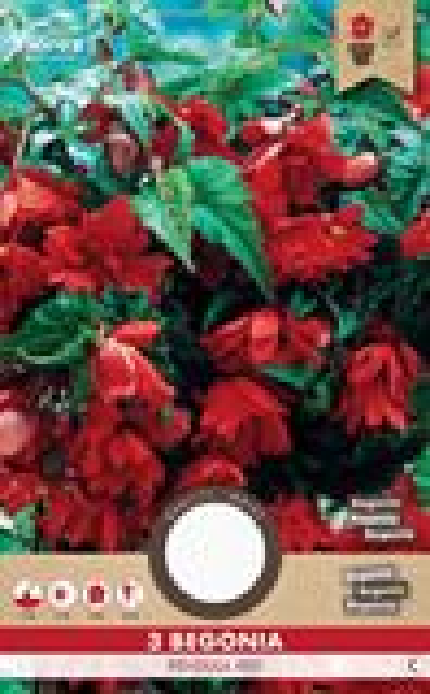 Begonia Hang Rood 3 St