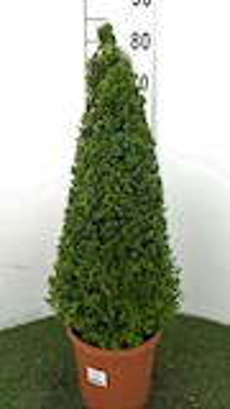 Buxus sempervirens piramidevorm 50-60 cm - CO 7-8L