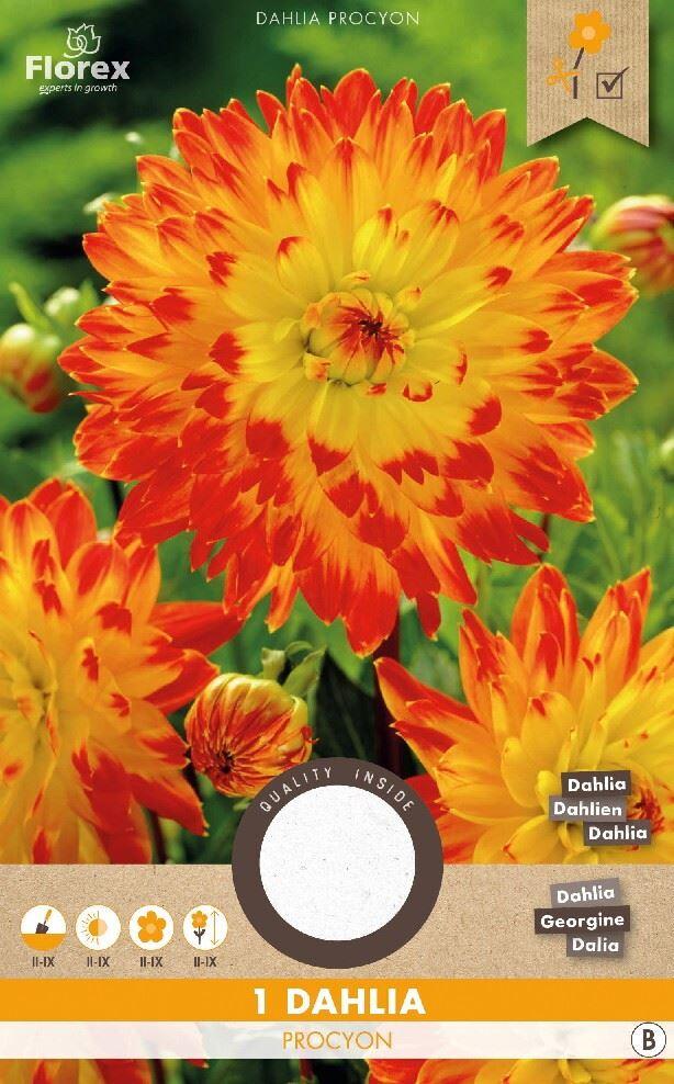 Dahlia Decoratief Procyon Geel/Rood