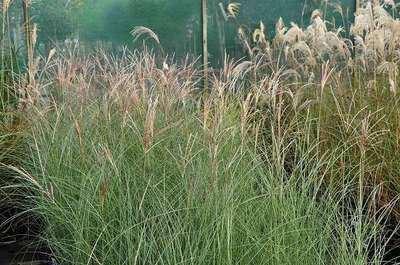 Miscanthus sinensis 'Gracillimus' CO 1,5L