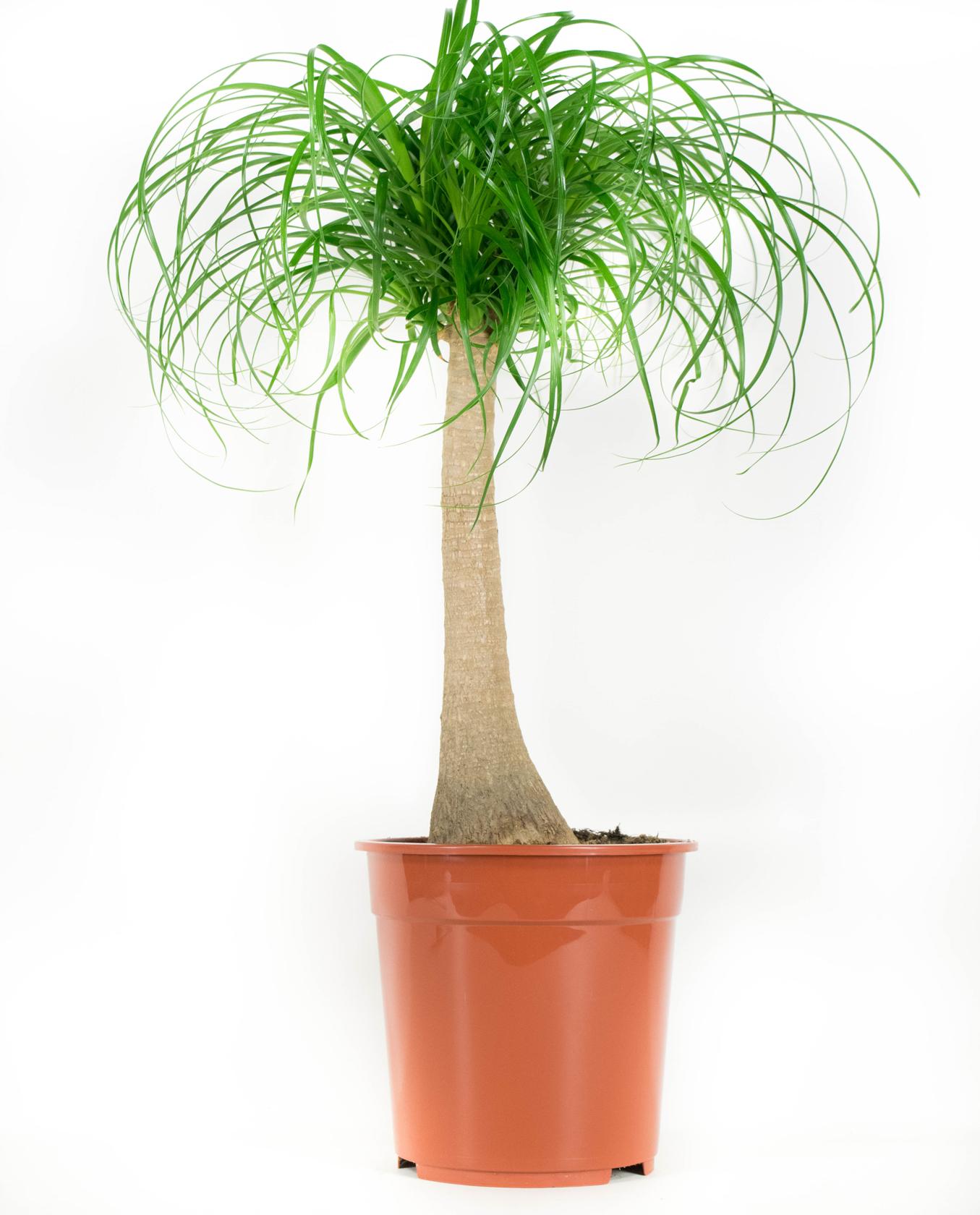 Olifantspoot - Beaucarnea 75 à 80 cm hoog
