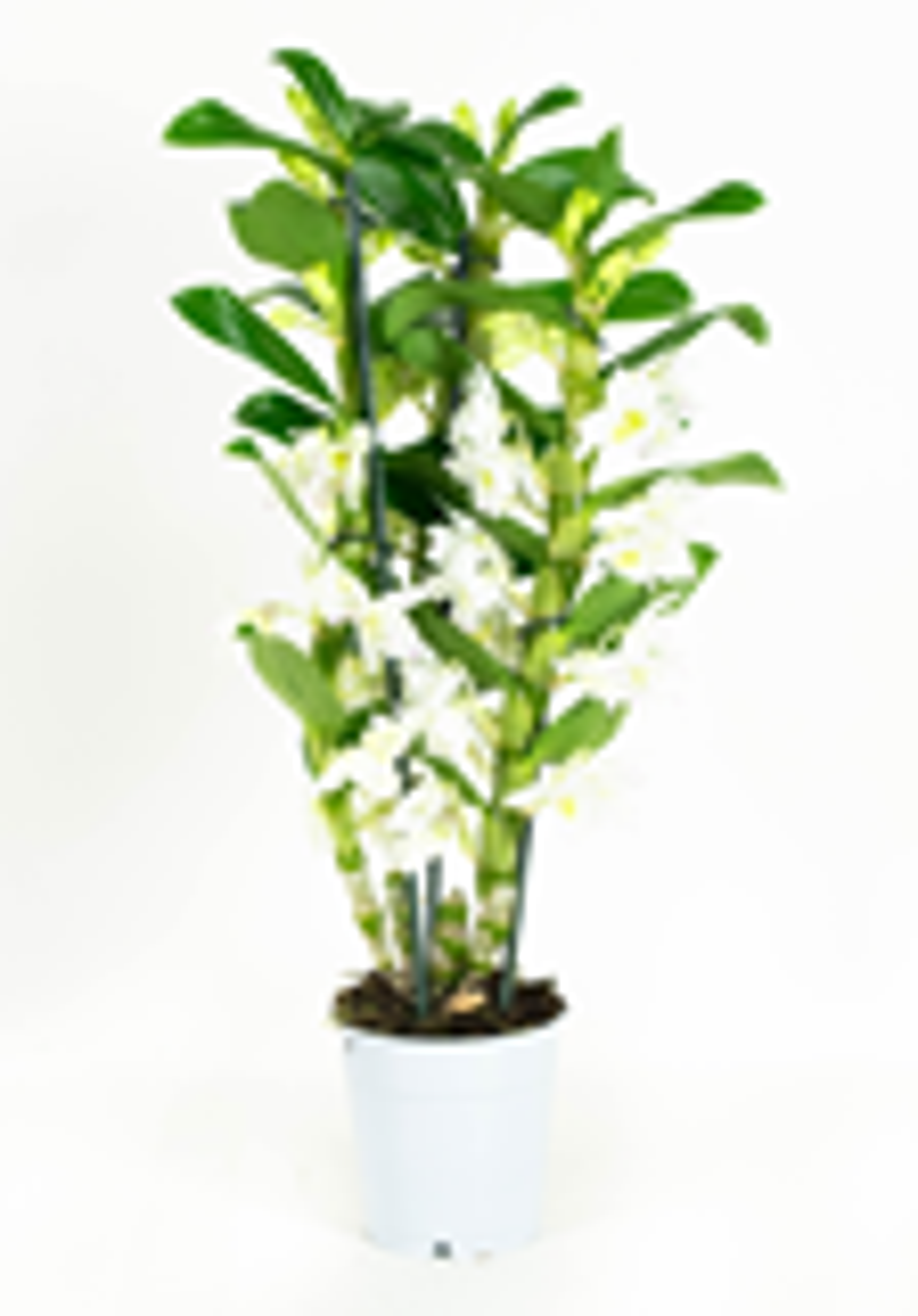 Orchidee Apollon 50 cm hoog 3 takken