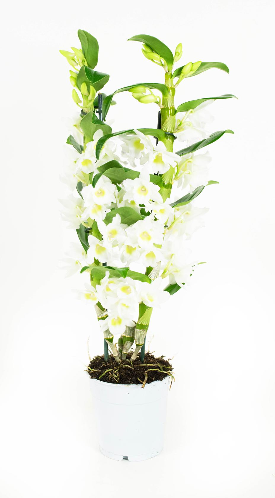 Orchidee Apollon 60 cm hoog 2 takken