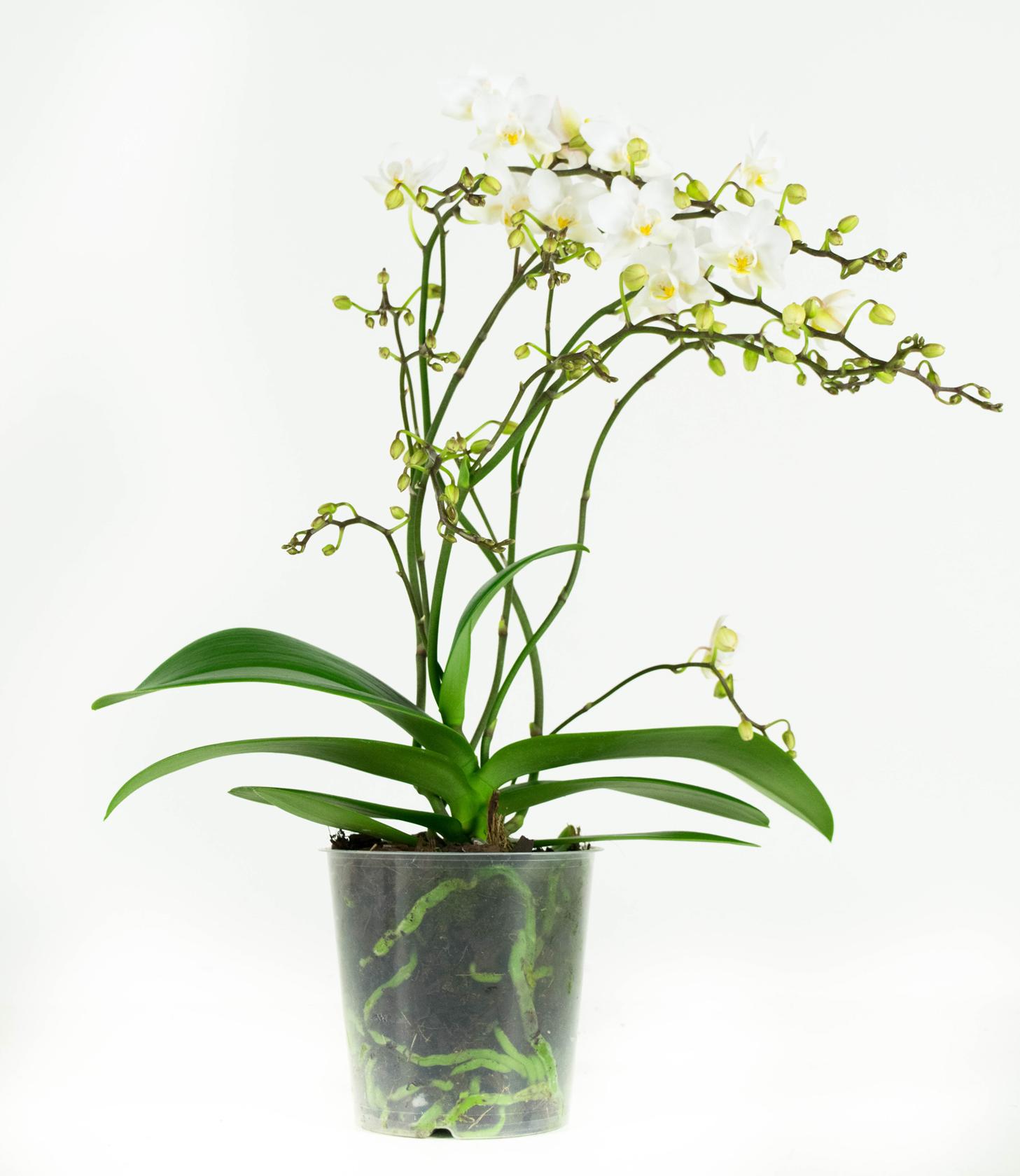 Orchidee Soft Cloud - Phal Multiflora 50cm hoog 4T