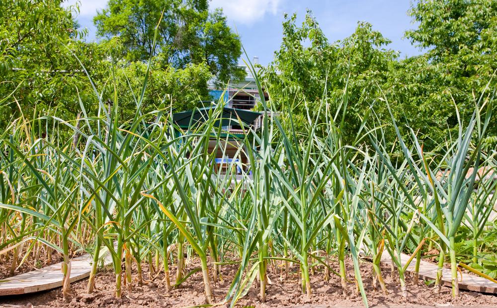 Plantenfiche-Allium-porrum-Winterprei-