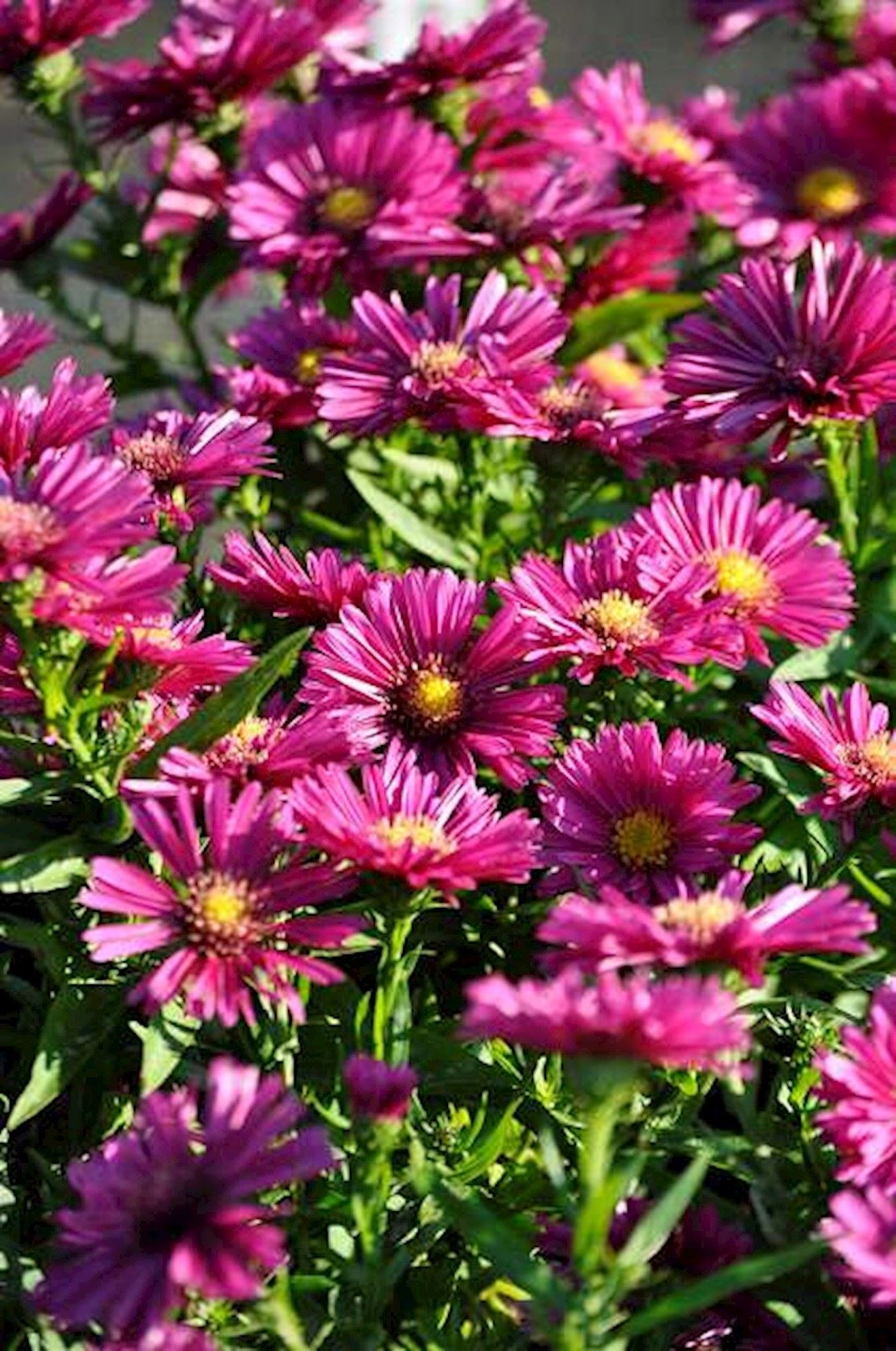 Aster 'Jenny' - Aster