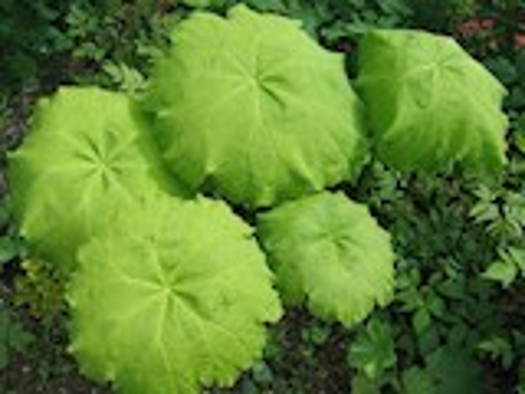 Plantenfiche-Astilboides-tabularis